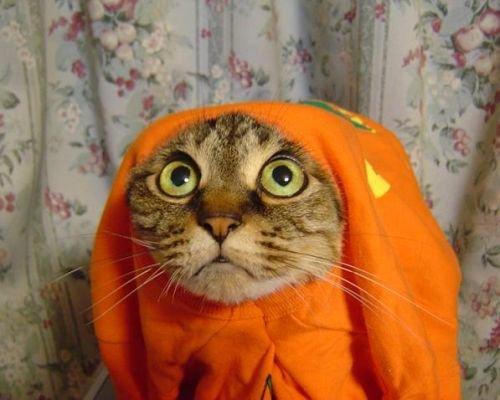 halloween pour les chats , Dessin humoristique , Halloween